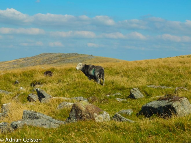 Herdwick sheep on Dartmoor