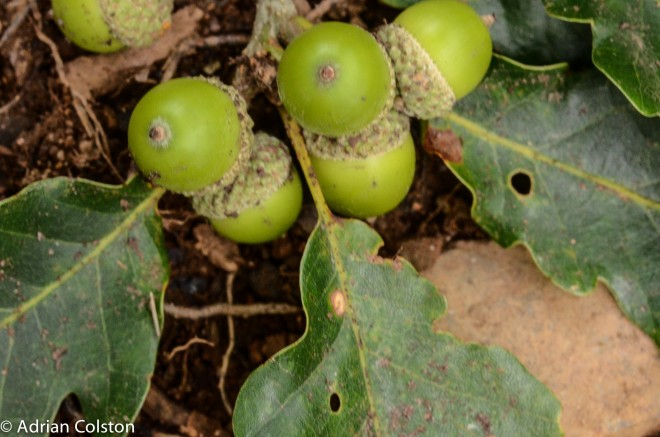Sessile oak 3