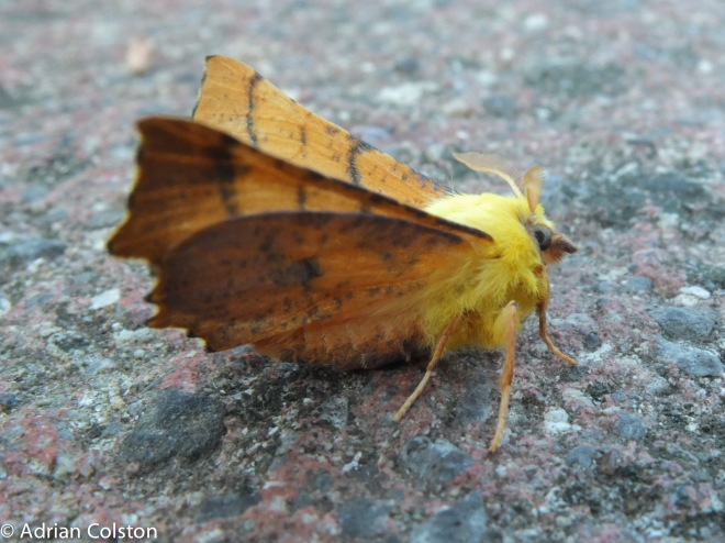 Canary shouldered thorn 2