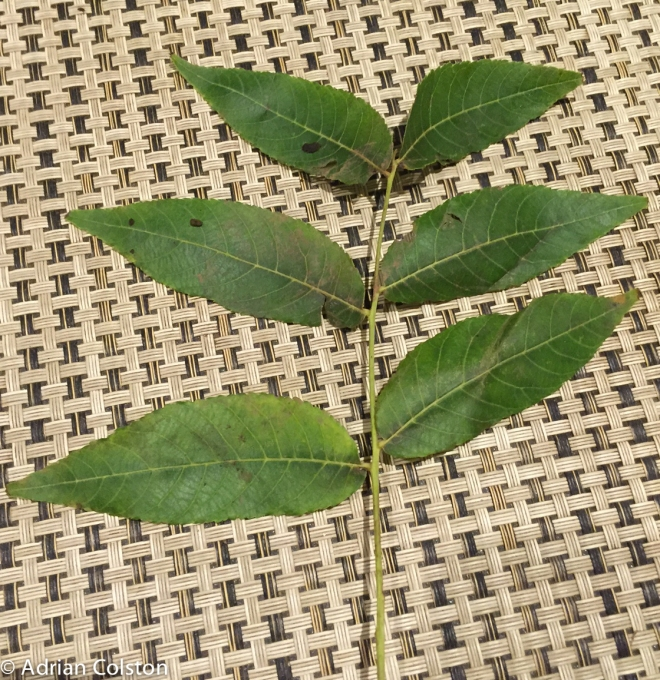 Black walnut leaf