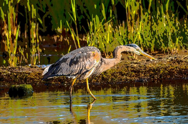 Great blue heron - poster 1