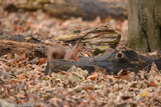 Brownsea Red Squirrel 4