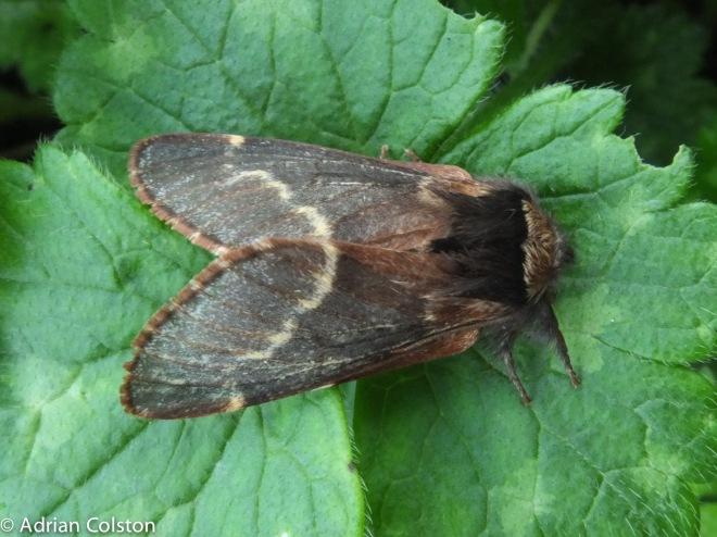 Fox moth 1