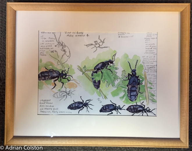 JW Oil beetles