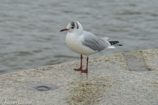 Blacked headed gull