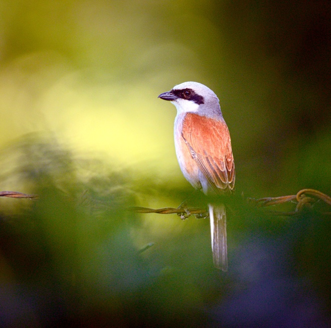 Red-backed_shrike_(18515040752)