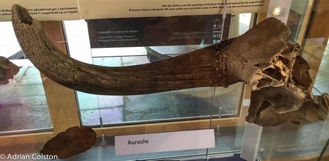 Auroch 1