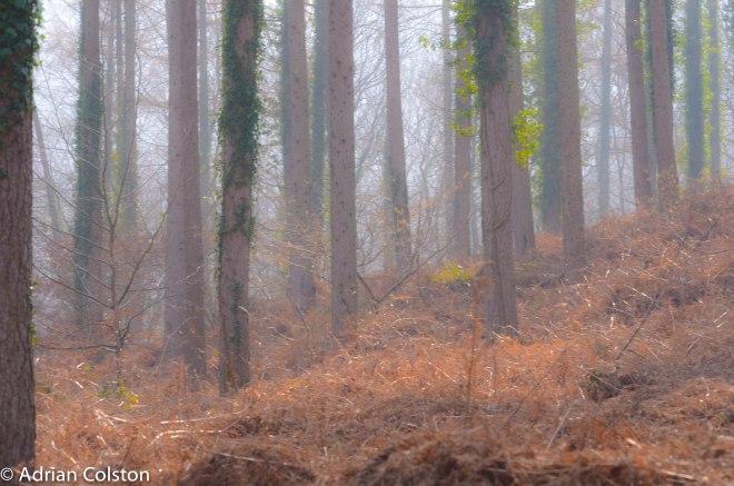 Cod Wood 1