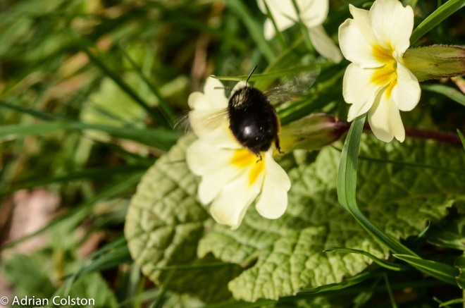 Hairy - footed Floer Bee - female 2