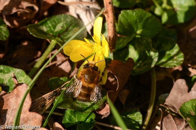 Hairy-footed flower bee 2