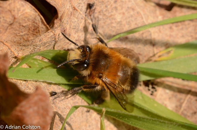Black Bumble Bee >> The hairy-footed Flower Bee on the wing now – A Dartmoor blog