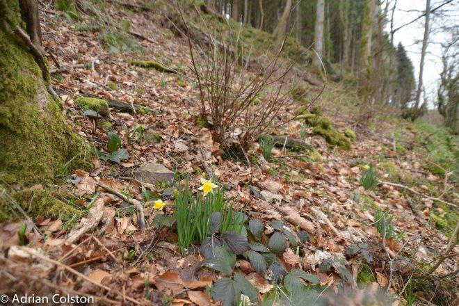 Wild daffodils 2