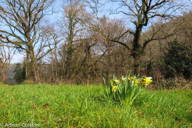 Wild daffodils - Cod Wood 1