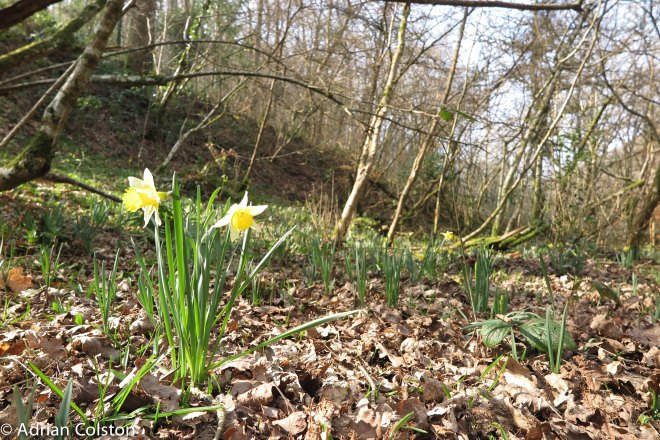 Wild daffodils - Cod Wood 2