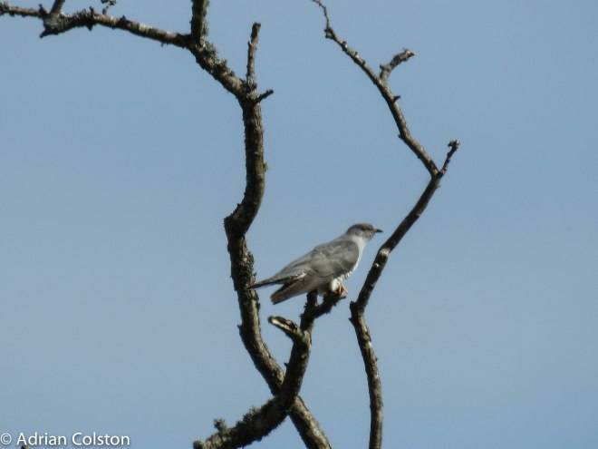 Cuckoo 1