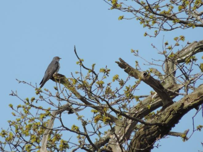 cuckoo-sb