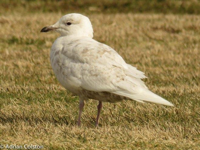 Iceland gull 2