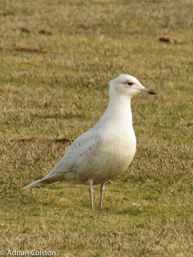 Iceland gull 3