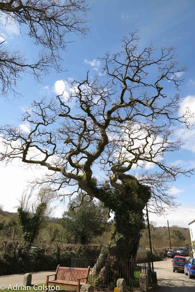 Meavy Oak 3