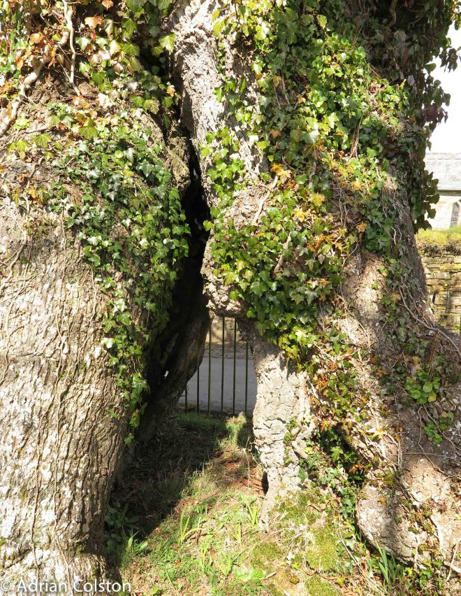 Meavy Oak 4