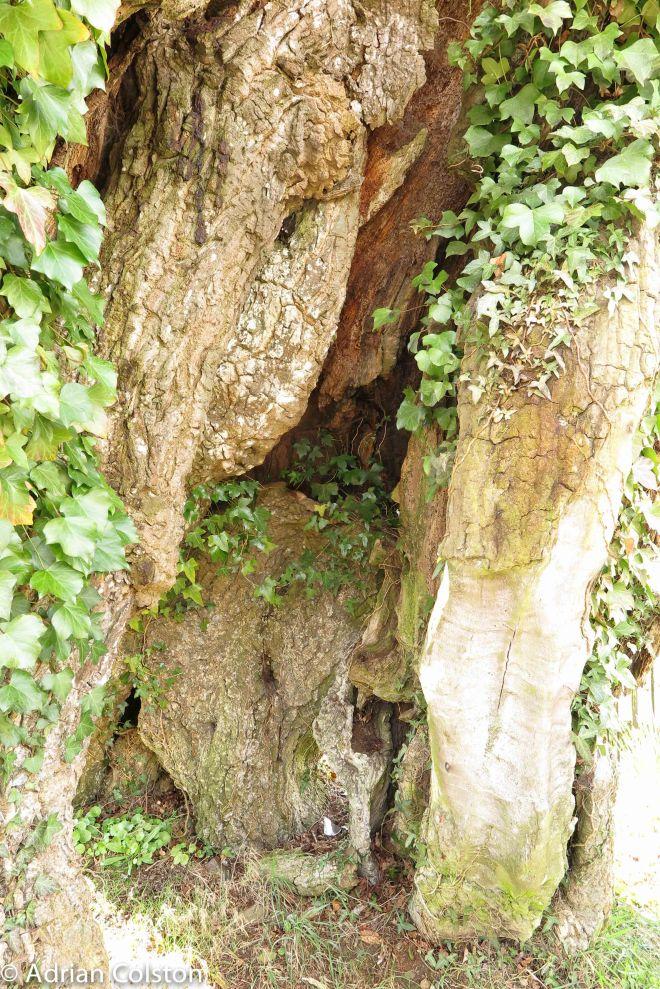 Meavy Oak 5