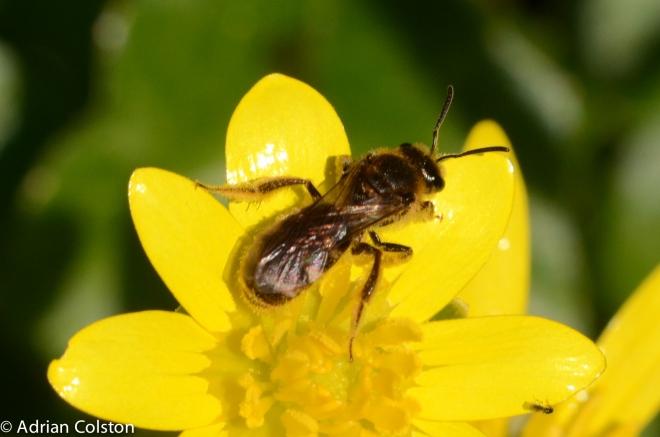 Orange-legged Furrow Bee 2