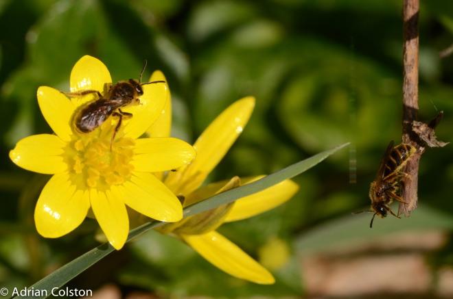 Orange-legged Furrow Bee 3