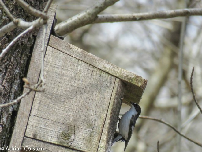 Pied fly 1