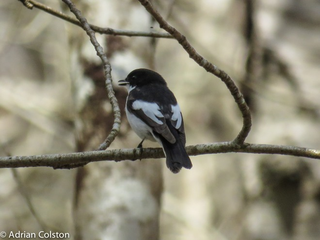 Pied fly 2
