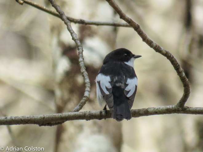 Pied fly 3