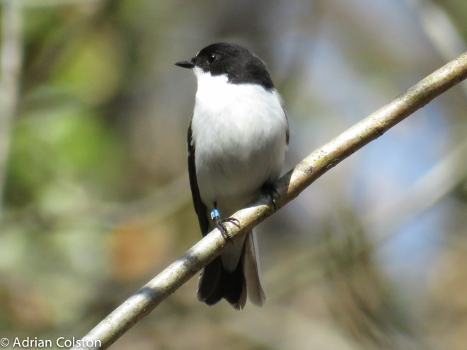 Pied fly 5