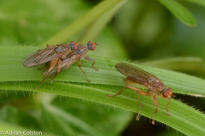 Scathophaga suilla
