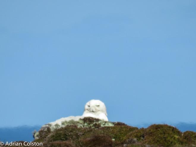 Snowy owl 3