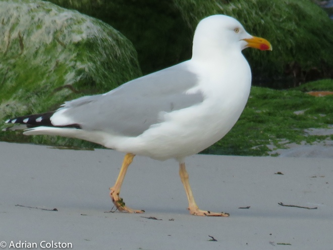 'Yellow legged' gull 1