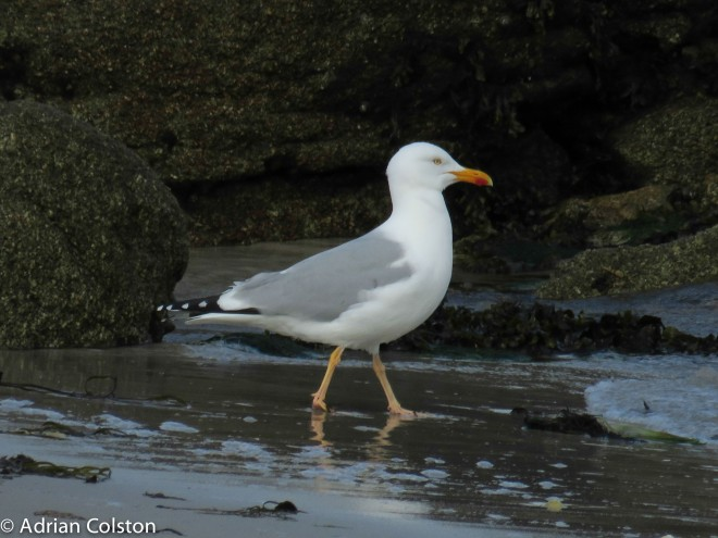 'Yellow legged' gull 2