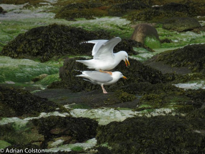 'Yellow legged' gull mating