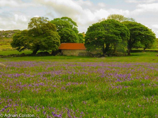 Emsworthy bluebells 4