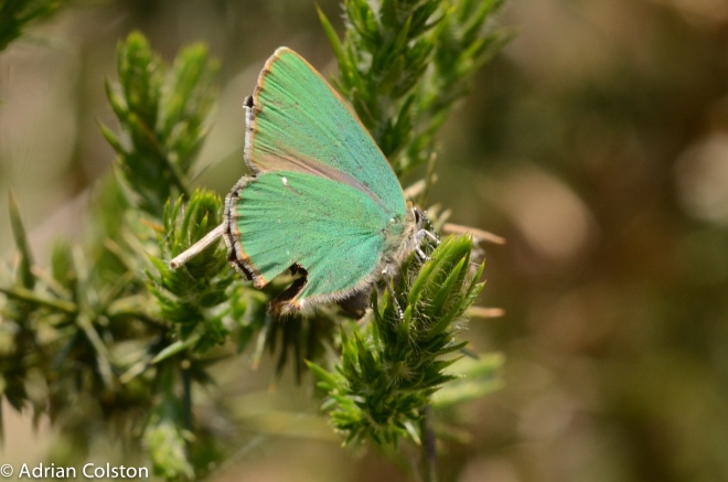 Green hairstreak 2