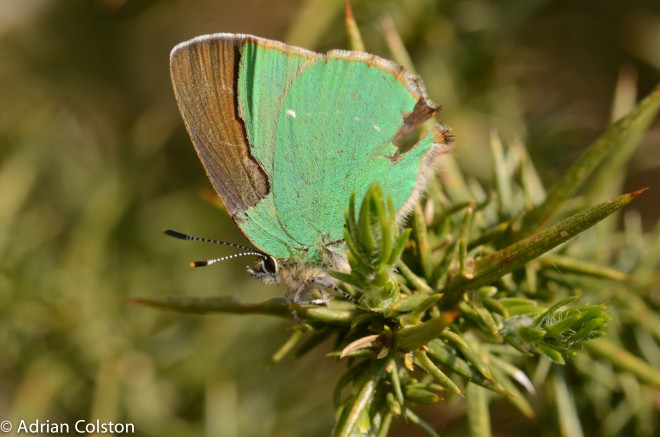 Green hairstreak 3
