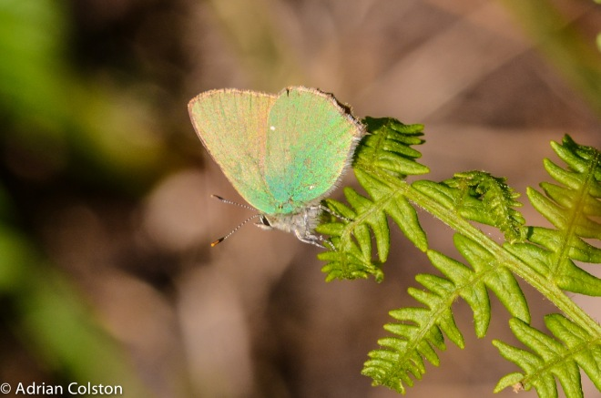 Green hairstreak 4