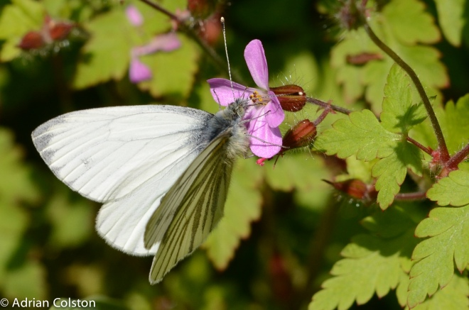 Green-veined White-2