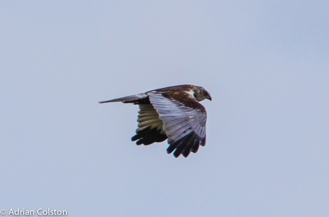 Marsh harrier - male 1