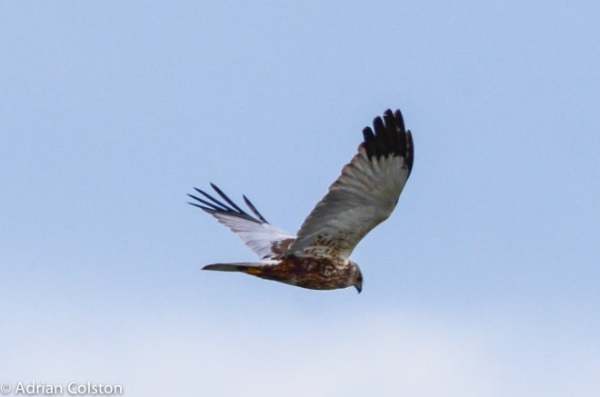 Marsh harrier - male 2