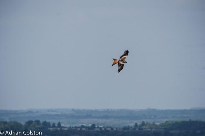 Red kite 1