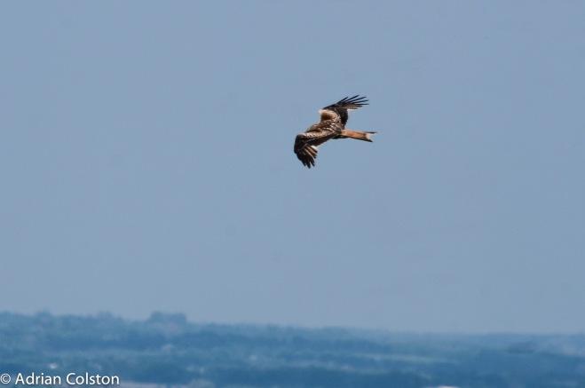 Red kite 3