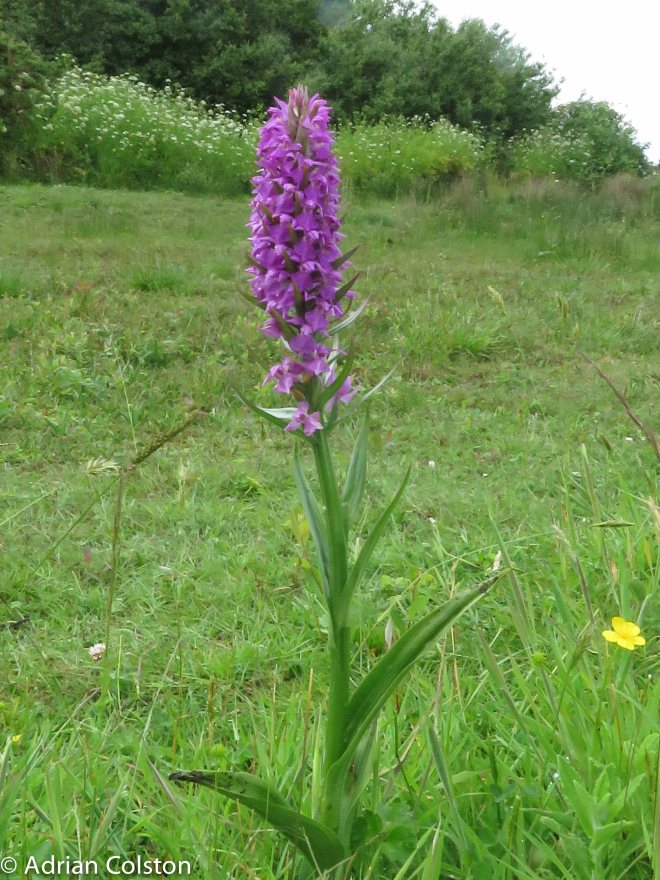 Southern Marsh Orchid 2