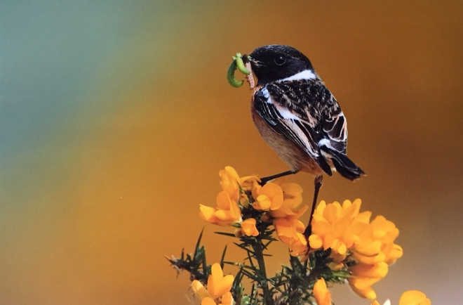 Stonechat - Charles Tyler