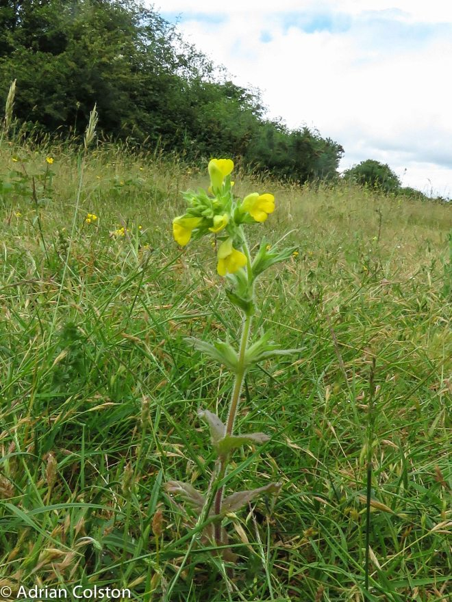Yellow bartsia 1