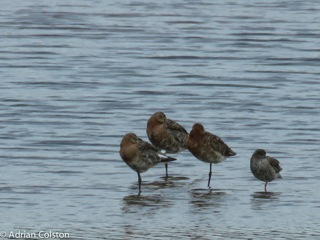 Black tailed godwits and a redshank