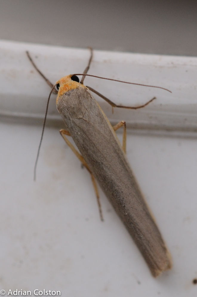 Scarce footman